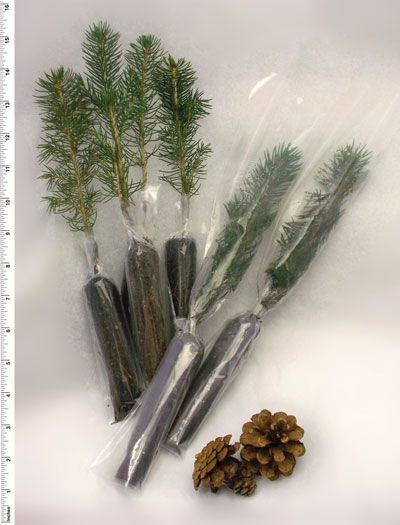 Evergreen Seedling As Favor Wrap In Gold Organza Or Sparkly Fabric And Affix