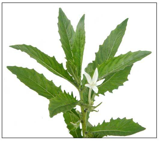 Estrella, Isotoma longiflora, Star of Bethlehemt: Philippine Medicinal Plants…