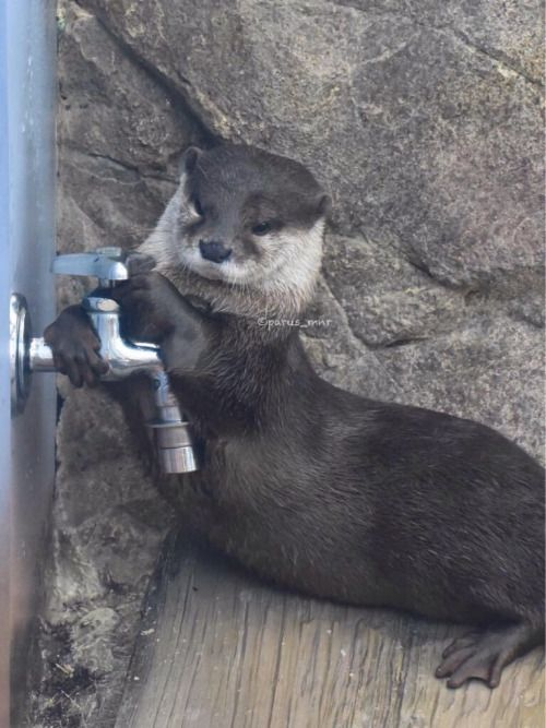 Otter is determined to get some water!  Source: https://twitter.com/parus_mnr/status/628041959425204226