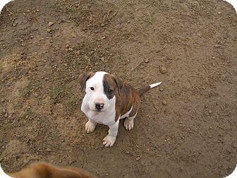 American Bulldog/Labrador Retriever Mix Puppy for adoption