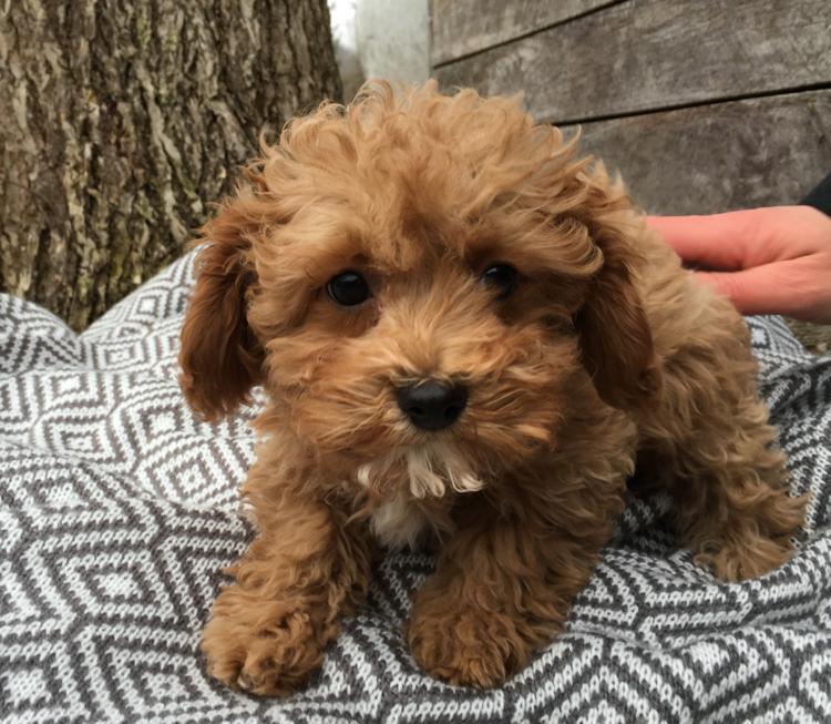 cavapoochon Cavapoochon, Puppies, Puppies for sale