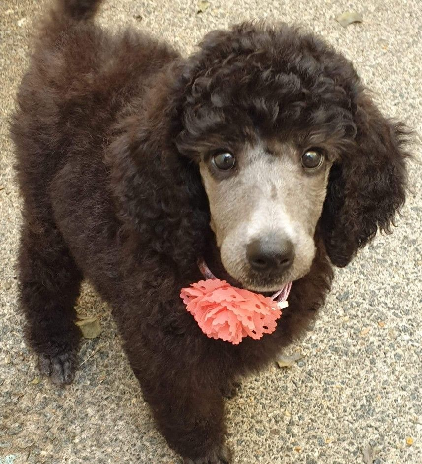 Pin By Kathy Langford On Poodle Love Kawaii Animals Miniature