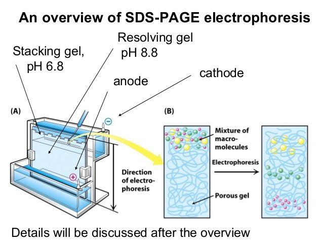 electrophoresis ,SDS-PAGE ,الکتروفورز