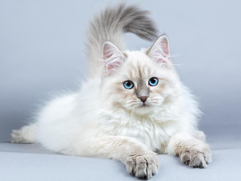 Siberian Cat Breeds Siberian cats for sale, Cat breeds