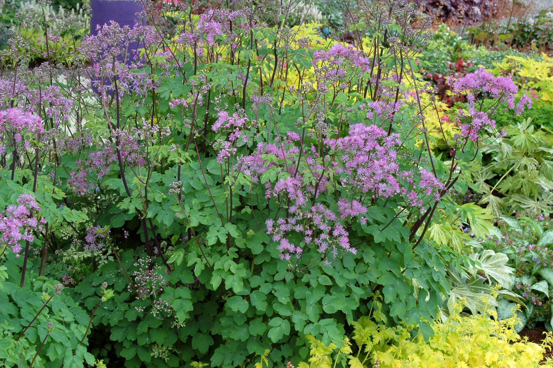 Flowers that like sun and moist soil - Thalictrum Black Stockings Full Sun Optimum In Moist Soil Deer Resistant