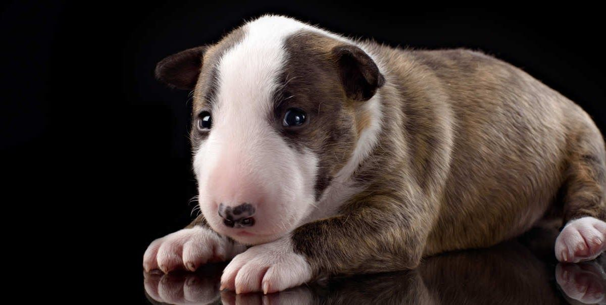 Miniature Bull Terrier Puppies For