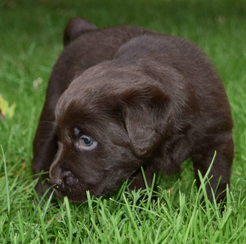 Chocolate Lab Puppies for sale NY | Labradorable | Pinterest ...