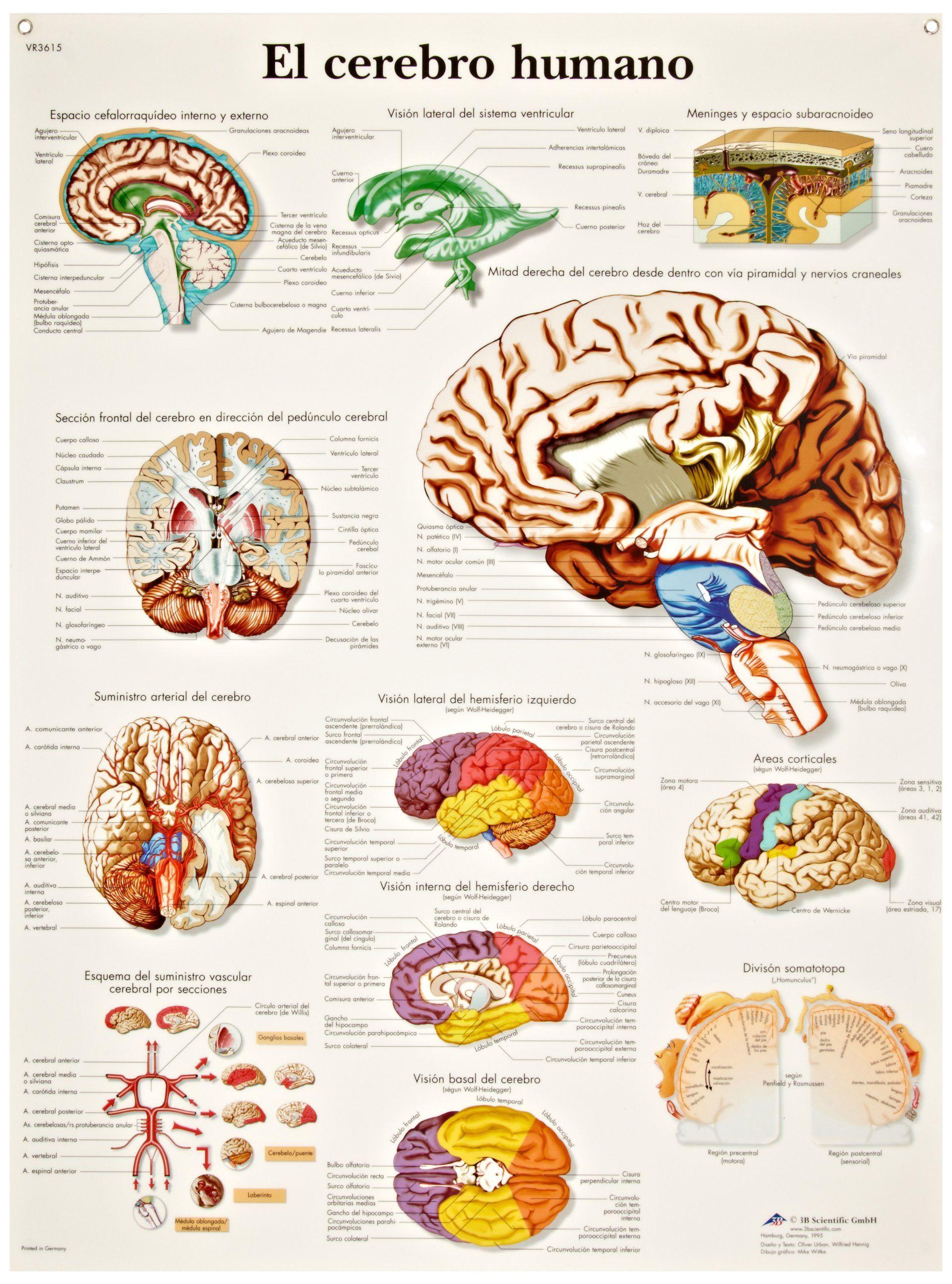 Human Brain Anatomical Chart Spanish
