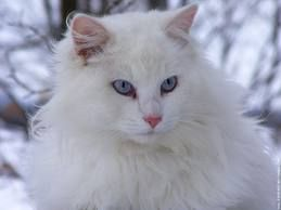 beau chat blanc persan