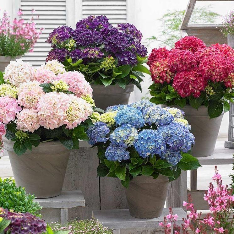 ortensia in vaso | Ortensie, Vasi da giardino, Giardino di ...