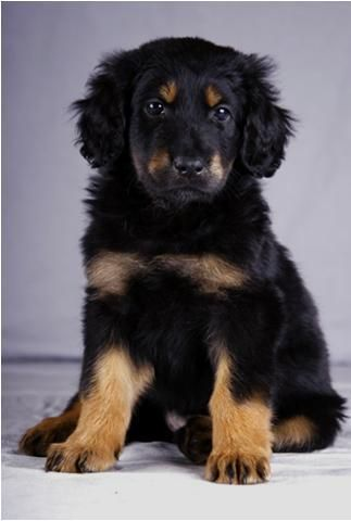 hovawart Google zoeken Dog breeds, Dogs, Cute little