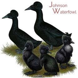Black Crested Ducks for Sale | Chickens and Rabbits | Pet