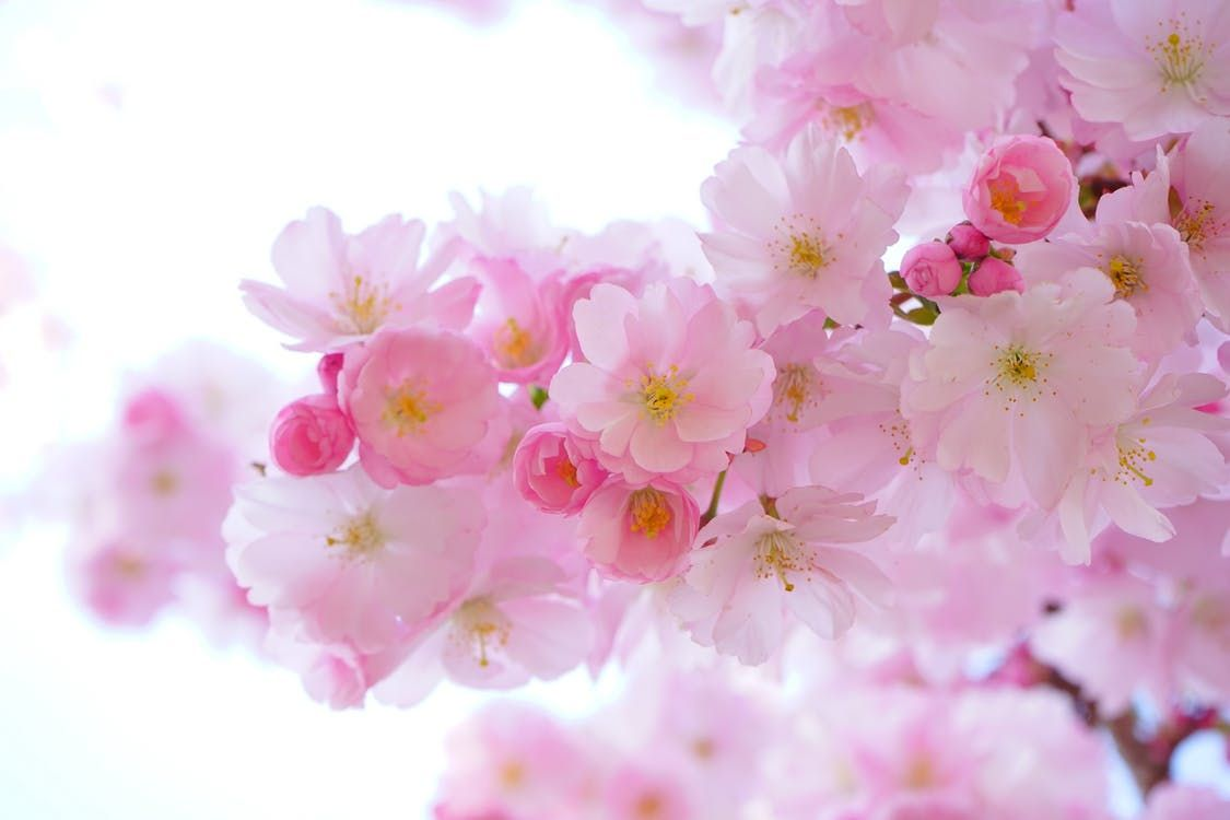 Japanese cherry tree flowers: