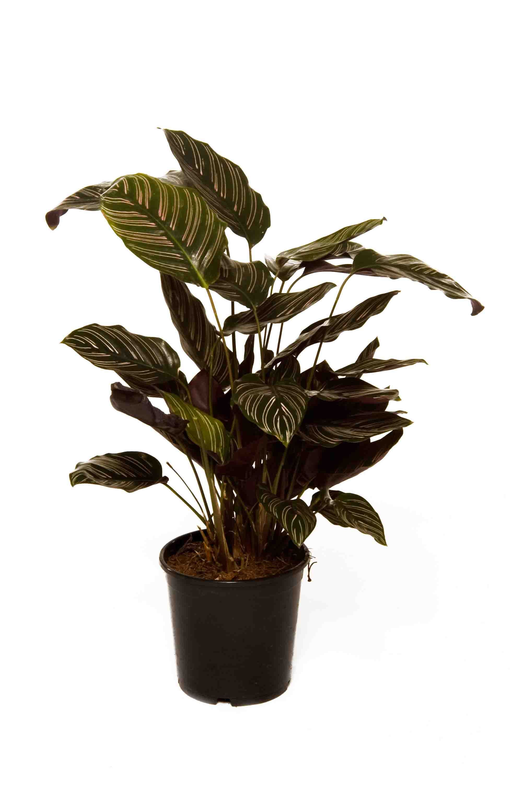 Calathea Ornata Like A Peace Lily But Tougher And No Flowers But