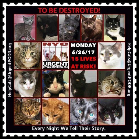 "TO BE DESTROYED 6/26/17 - - Info  Please share View tonight's list here: http://nyccats.urgentpodr.org/tbd-cats-page/. The shelter closes at 8pm. Go to the ACC website( http:/www.nycacc.org/PublicAtRisk.htm) ASAP to adopt a PUBLIC LIST cat (noted with a ""P"" on their profile) and/or … CLICK HERE FOR ADDITIONAL…Please…Please...-  Click for info & Current Status: http://nyccats.urgentpodr.org/to-be-destroyed-32017/"