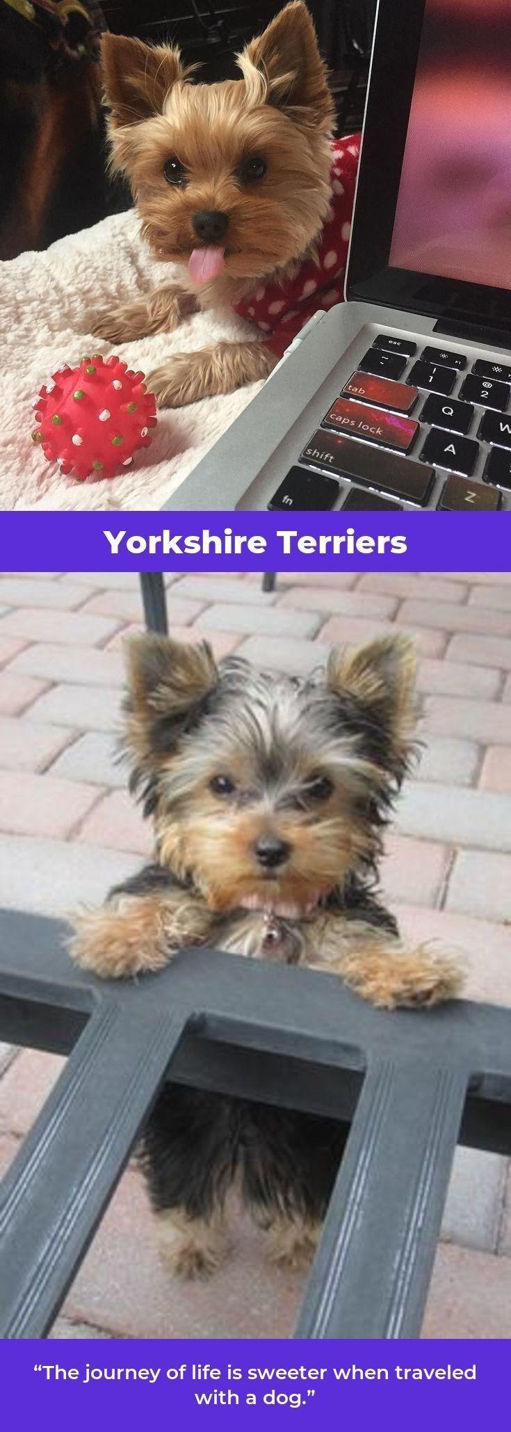 Yorkshire Terrier Pup Yorkshireterrierstagram Yorkshireterriersofinstagram1 Yorkshire Terrier Funny Yorkshire Terrier Yorkshire Terrier Puppies