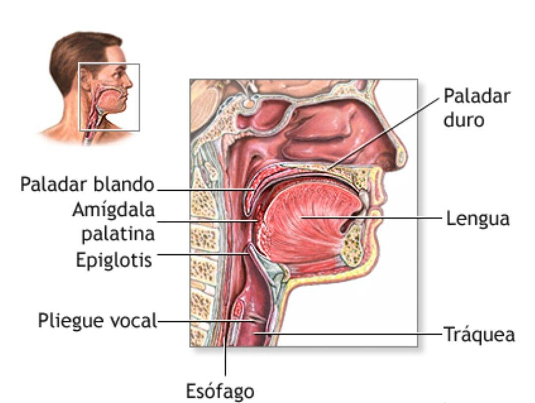 Famoso Anatomía Garganta El Esófago Ideas - Imágenes de Anatomía ...