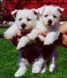 Pictures Of Westhighland Terriers Terrier Cute Dogs Cute Animals