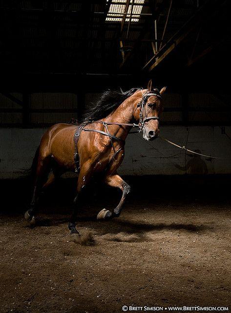 gorgeous morgan horse.