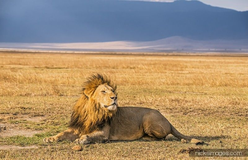 Nick Fox Photography : Africa > Lion resting in the Ngorongoro Crater