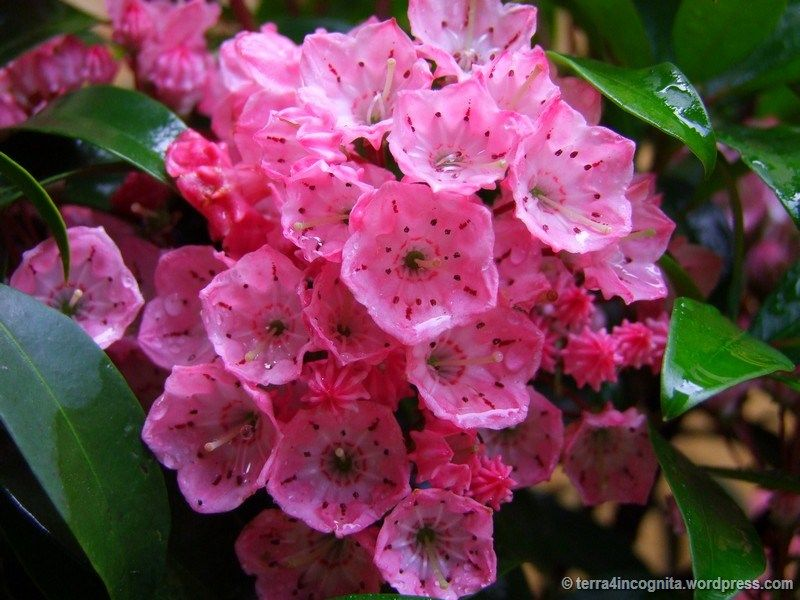 Pink Mountain Laurel Laurel Flower Pink Mountains Mountain Laurel