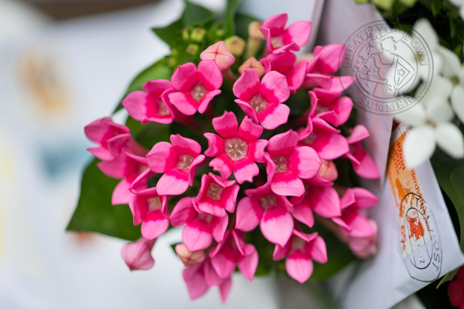 Close Up Bouvardia In Pink Seasonal Flowers