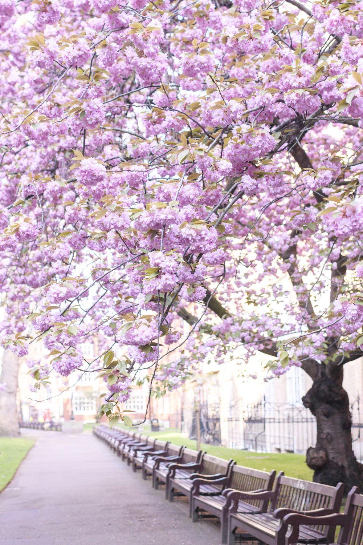 Cherry Blossoms In London Romantic Garden London Bloom Book