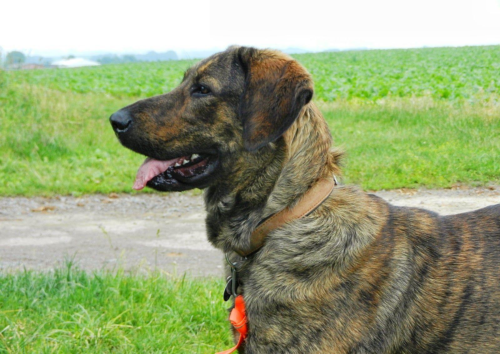 Populares Raças de cães portugueses Da Serra da Peneda, mais propriamente da  YV55