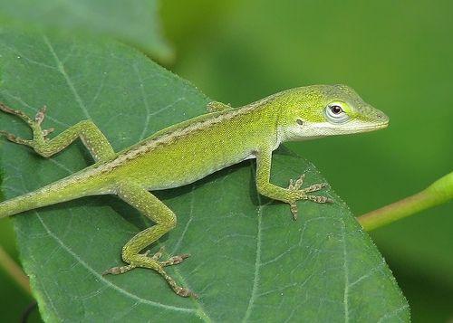U S Lizard The Carolina an...