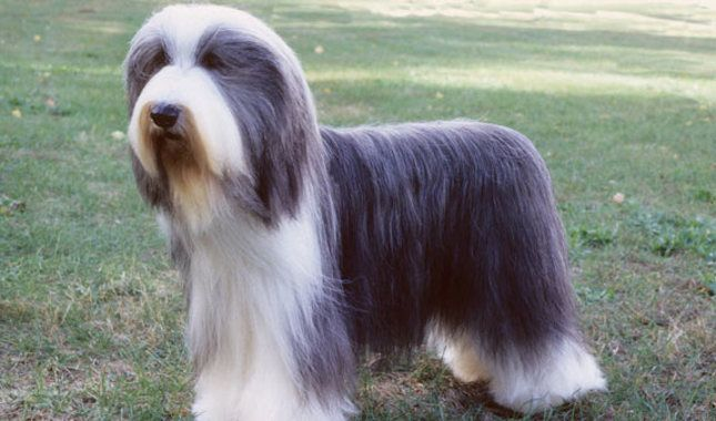 Bearded Collie Breed Information The Beardie Is Boisterous And