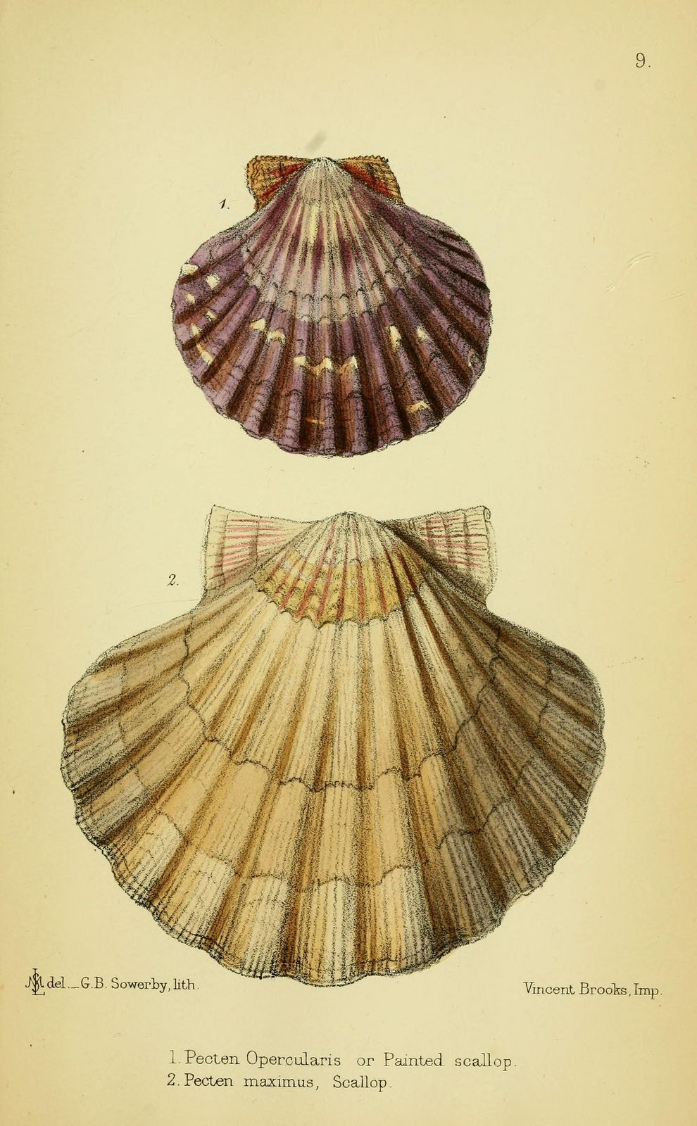 The edible mollusks of Great Britain and Ireland : with recipes for cooking them