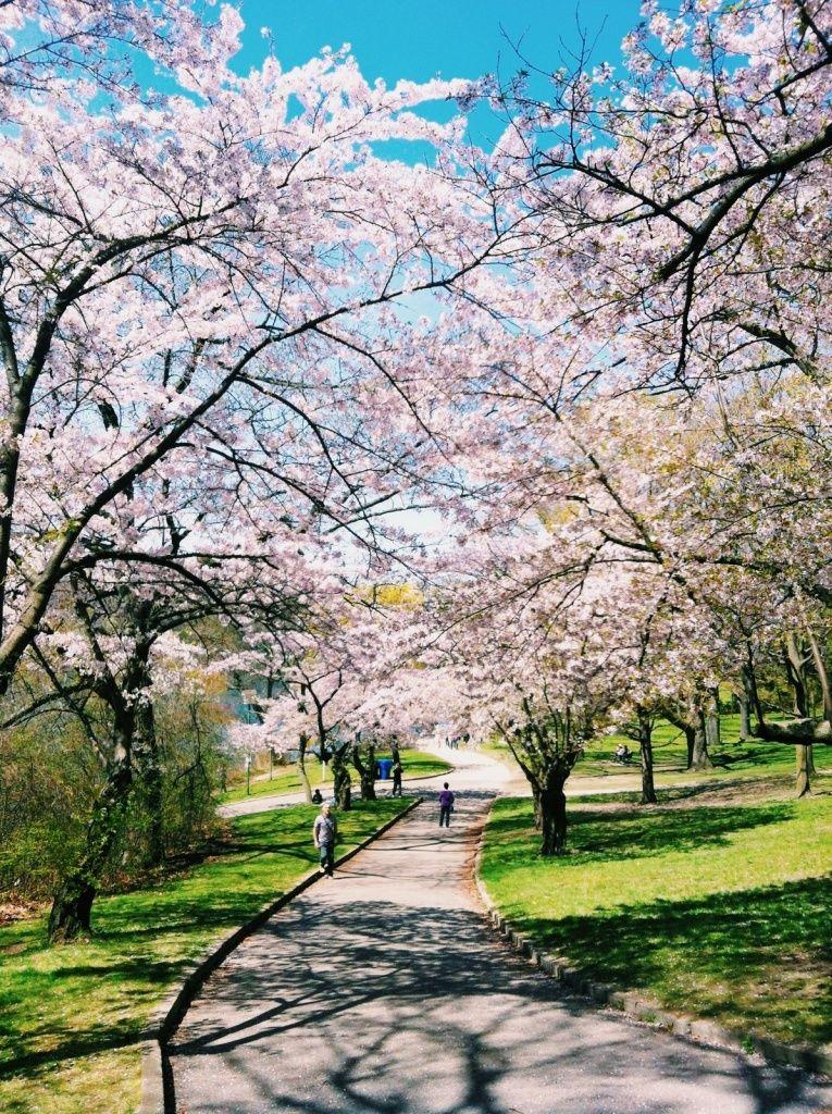 Cherry Blossoms In Spring Sunlight Sunshine Trees Path Park Colour Toronto Nature Vscocam Vsco Blossom Japanese Blossom Cherry Blossom