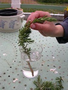 bouturage du romarin dans l 39 eau diy plante pinterest jardins potager et jardinage. Black Bedroom Furniture Sets. Home Design Ideas