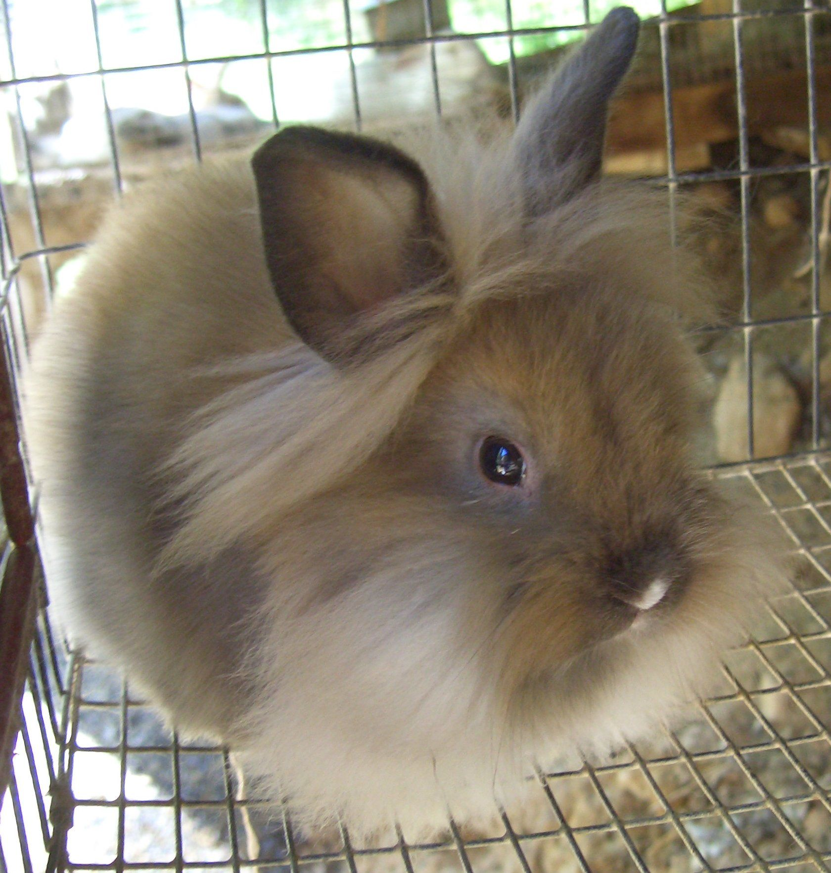 28 Flemish Giant Rabbits Near Carmel Indiana Lionhead Rabbit Rabbits For Sale Giant Rabbit