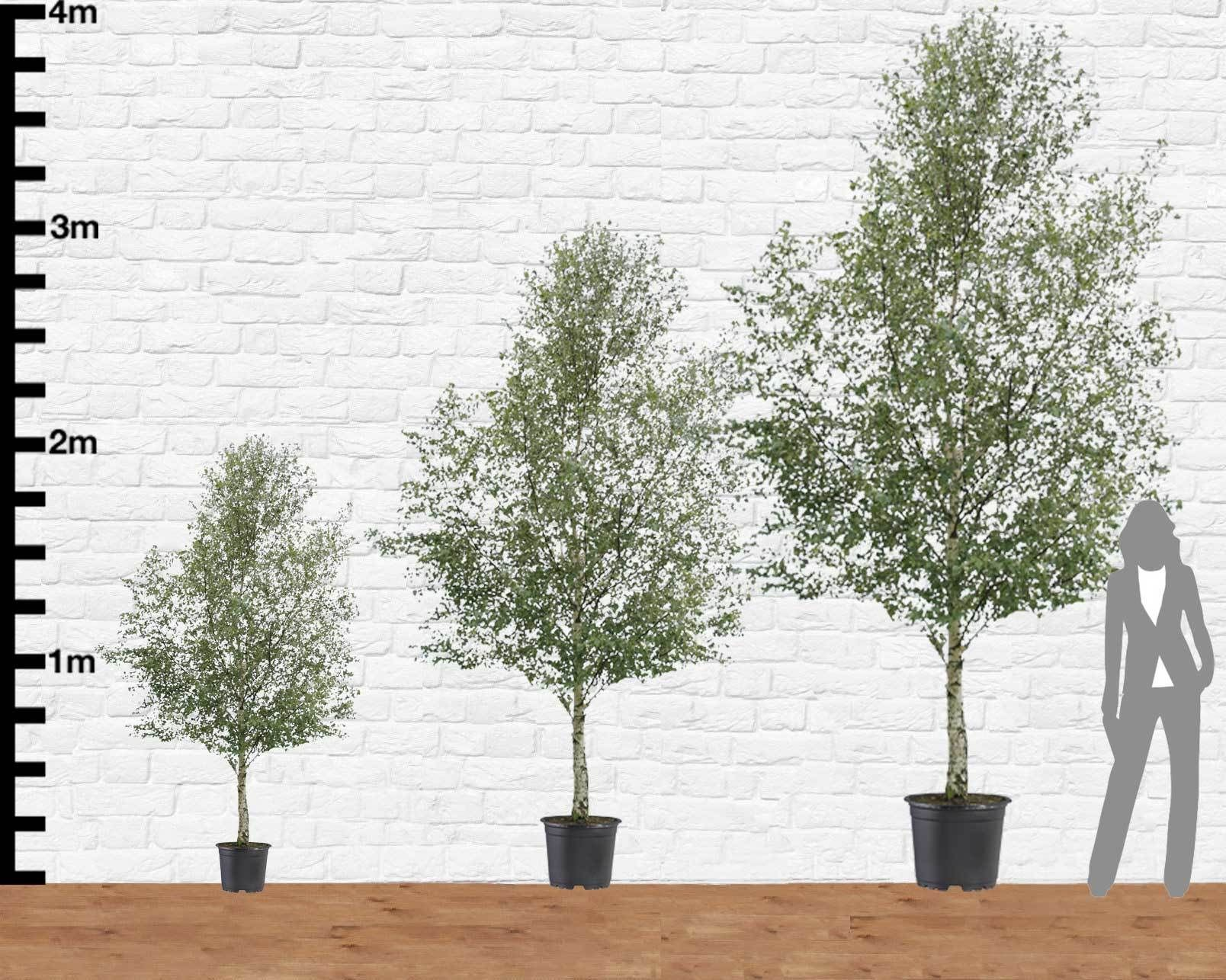 Silver Birch Tree Hire - Supazaar