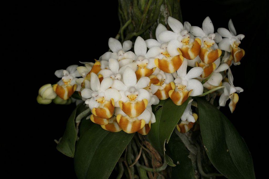Phalaenopsis lobbii 'Lourens'
