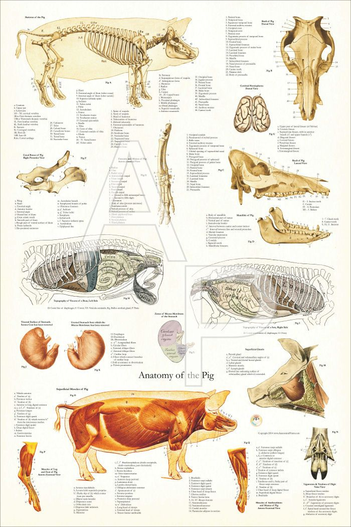 Pig Anatomy Poster - 24\