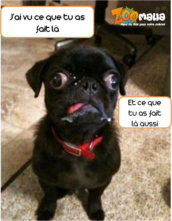 #carlin #dog #chien #humour #picoftheday