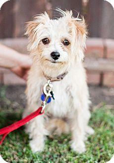 Sherman Oaks Ca Cairn Terrier Maltese Mix Meet Corey A Dog For