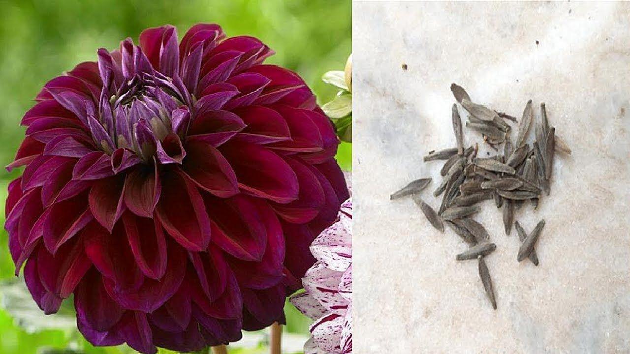 How To Collect Dahlia Seeds Save Harvest Dahlia Seeds Buy Seeds Seed Saving Seeds
