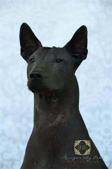 Taboo Bust Shot A Photo Taken By Images By Echo A Dear Friend Who Does Lovely Work Taboo Is A Sta Perros Raros Perro Xoloitzcuintle Perro Sin Pelo Mexicano