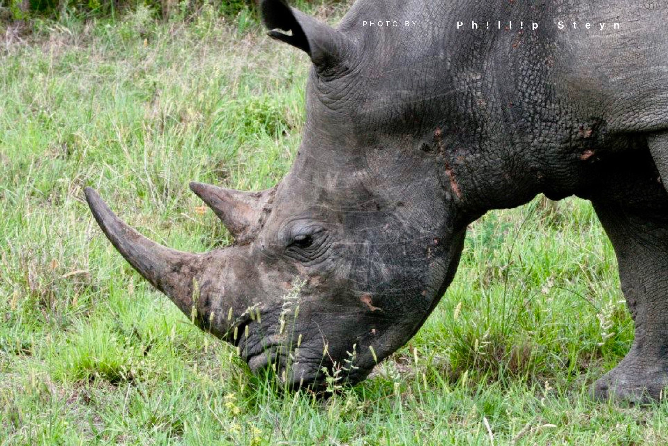 White rhinos feed on grasses and their broad upper lip is adjusted to this type of food (hence the synonym square-lipped).