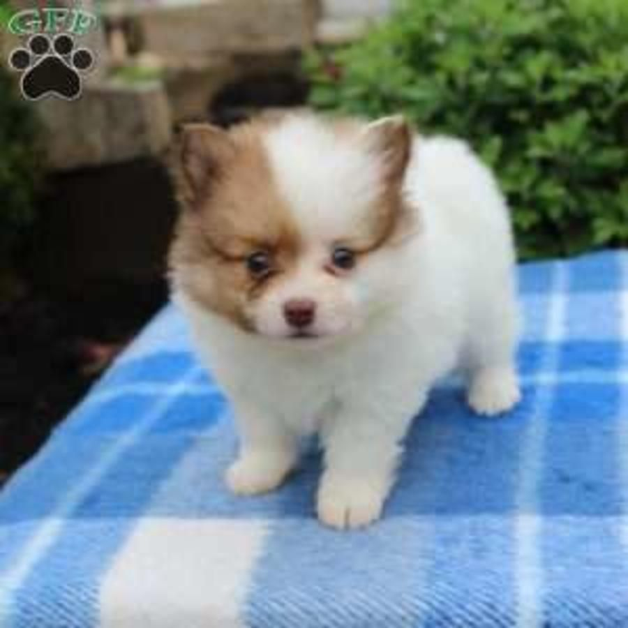 Pomeranian Purebred Puppy Litters For Sale In Hoobly Classifieds Puppy Litter Puppies Pomeranian