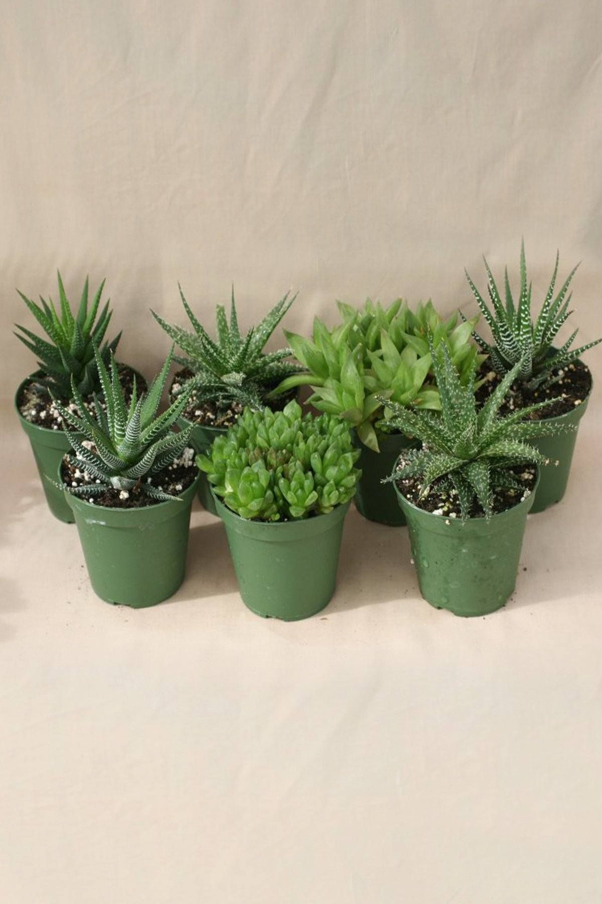 Buy Haworthia Succulent, Haworthia Succulent Assortment