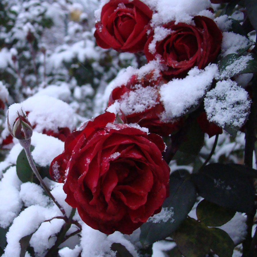 Snowy Rose Rose In Snow By Myblue Eyes On Deviantart Flowers Rare Flowers Rose Flower