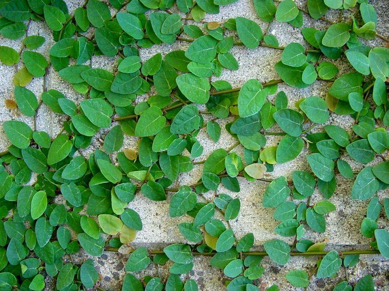 Ficus Pumila Tickey Creeper Plants