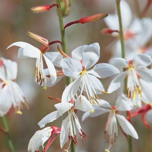 Gaura blanc, en fleur de mai à octobre. | Au jardin | Pinterest ...