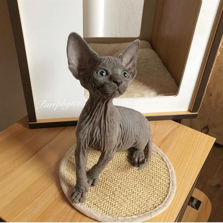 Grey Velvet Baby Sphynx Kitten Beautiful Animals Kitty Sphynx Kittens Cat Care Pets Cats Cat Pictures For Kids