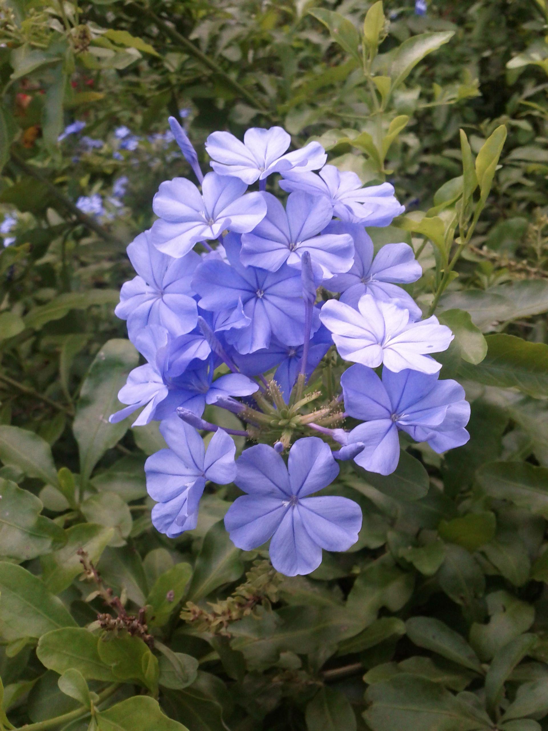 Blue cluster central florida flowers bloom