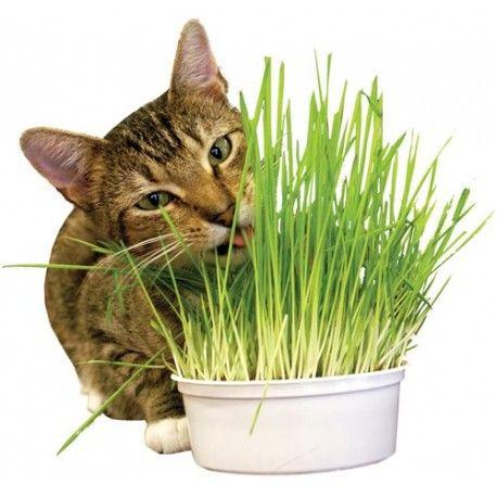 Idea by Suz Kenney on Mortimer Cat grass, Pet grass